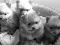 I have a litter of four very tiny beautiful AKC