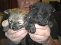I crrently have 4 tiny AKC pomeranian puppies