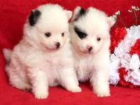 AKC registered Pomeranian Puppies. Two boys and two