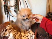 AKC tiny special needs Pomeranian. Ready for new home