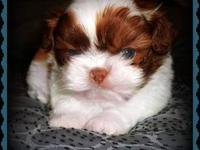 I have 4 beautiful Shih Tzu puppies available. 2 males