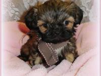 Tiny AKC Imperial Shih Tzu puppies For Sale they are