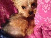 Very Sweet & Beautiful AKC Tiny 3 lbs yorkie Boy! 3 yr