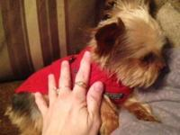 Very Sweet & Beautiful AKC Tiny 3 lbs male yorkie.( 3