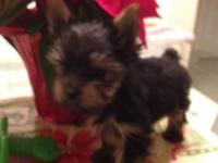 Tiny male AKC yorkie for sale. His 4 pound Mom lives