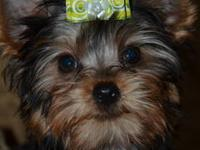 AKC TINY Teacup Yorkie male puppy, 12 weeks, adorable
