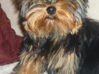 AKC TINY YORKIE PUPPIES, ADORABLE BABYDOLL FACES WITH