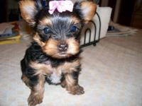 Healthy, Happy, Well-socialized baby Yorkies