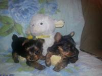 I have,2 males 1 female yorkie pups that are healthy