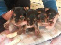 Beautiful Yorkies ready for homes in June. Taking