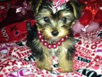 Yorkshire Terrier puppies for sell. Mom is a platinum