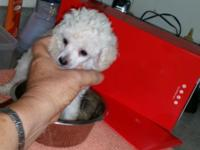 Tiny teacup male weighs barely 1 pd 2mths old white