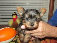 Tiny little baby doll Yorkie boy. Mom is 5 pounds and