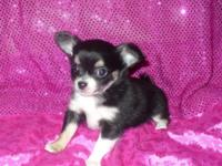 Tiny and cute black, white and tan longhair female