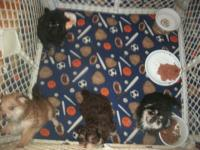 ADORABLE POM A POO BABIES . THEY ARE EXCEPTIONALLY