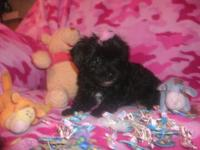 these cute designer shorkie babies are raised in our