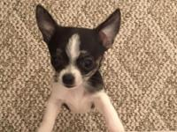 8 week old teacup female chichuahua. Weighs 12 oz and