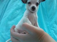 Exceptionally tiny apple head chihuahua. Approx. 4 to
