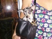 Celebrity style chihuahua purse dog.She's a Gorgeous