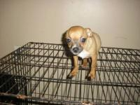 Adorable tiny apple head chihuahua puppies for sale 4