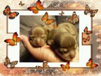 Tiny Apple Head Chihuahuas