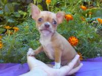 Stunning Apple Head Chihuahua female.Approx. 3 to 4lbs