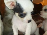 Adorable tiny teacup Chihuahua puppies! Super small