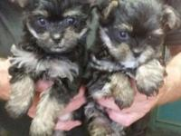 Cuddly sweet little pups. Will be 3-4 lbs grown. Mom &