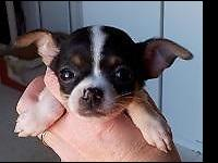 Sarah is a pleasant lively little teacup Chihuahua. She