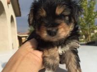 Our darling Morkies are ready for a new home. They have