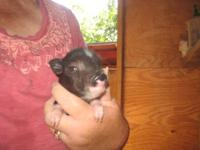 At 15-25 pounds & under 1 ft. tall, TRUE Teacup pigs