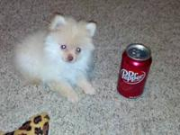 Tiny female Pomeranian born 10-6-12. Mom weighs only