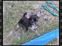 Tiny apple line, gorgeous and stunning male chihuahua