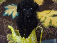 Beautiful, small black male toy poodle. Jingles is a