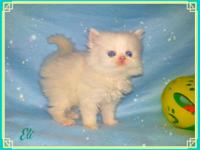 Our last Blue Eyed Snow White Kitten is Ready to go