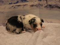 We have small toy puppies available for Christmas. ASDR