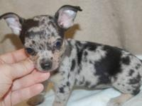 Tiny blue merle Chihuahua male puppy, he is absolutely