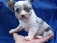 Rare blue merle chihuahua female.8 weeks old.She'll be