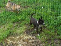 Speedy is a cute, tiny, 2 year old reverse brindle male