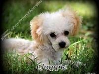 Chappie is a valuable Tiny Toy Poodle who is as cute as