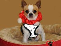 Tiny is a 6 year-old smooth-haired Chihuahua who was