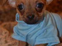 Tiny Jeffery - Chihuahua Male - SUMMER SALE - Now