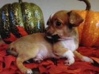 CKC signed up male applehead chihuahua pup readily