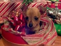 Little Tiny Chihuahua Puppies 3 females available &