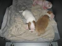 3 week old ckc reg. beautiful chihuahua pups, taking