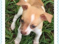 Chihuahua puppies tiny teacups will be 2-3 lbs full