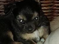 We have 2 male chihuahua puppies they are ready to go