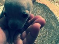 Tiny Chihuahua puppies for sale CKC registered