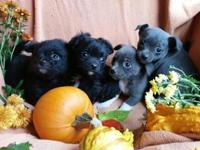 chihuhua puppies ready to go now.... $400 cash I have 2