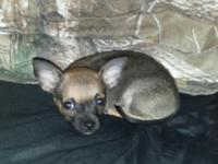Male Chihuahua young puppy. Had first set of shots and